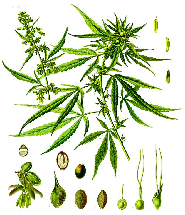 Cannabis_sativa2
