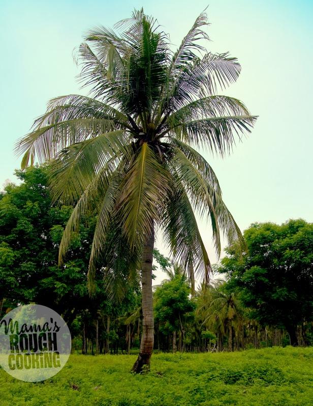 kokos-palm