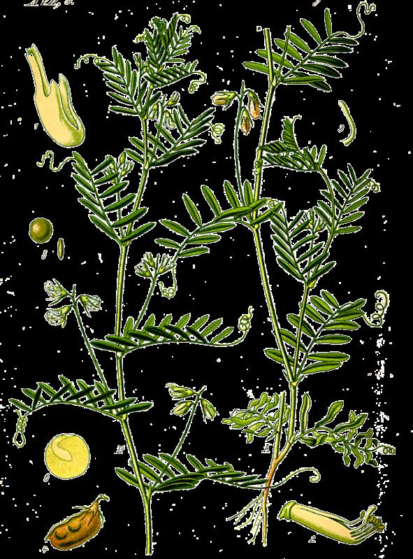 planta-linser